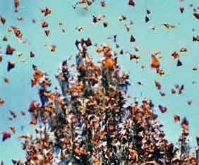 mex-monarch-fjar-fram