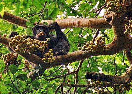 Gå på schimpansvandring i Uganda