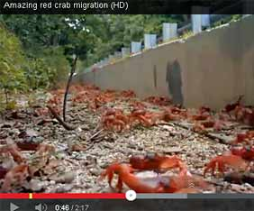 au-red-crab-fram