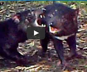 au-tasman-devil-fram