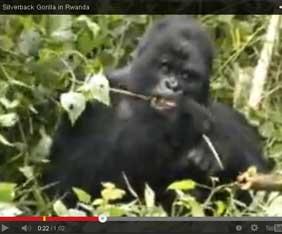 rwanda-gorilla-fram