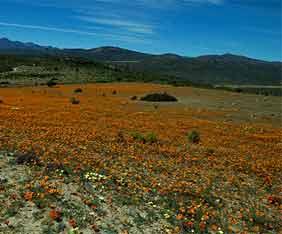 sydafrika-caracal-ecor-fram
