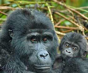 uganda-gorilla-kampanj2014-