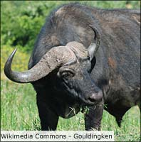 sydaferika-big7-buffel