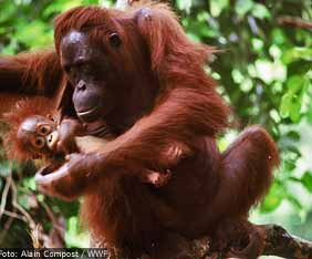 orangutang-fram