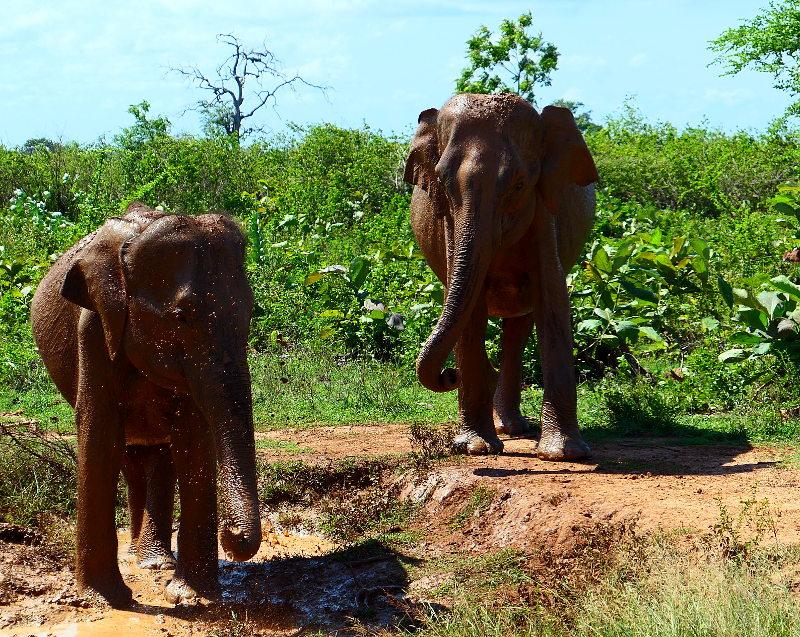 sl-2017-u-walawe-np-elefant-lera2