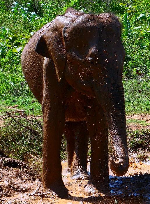 sl-2017-u-walawe-np-elefant-lera3